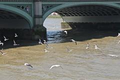 Seagulls ~ Thames (smilla4) Tags: birds seagulls flight shadow river thames westminsterbridge london england