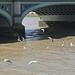 Seagulls+%7E+Thames