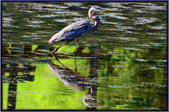 Reflecting Heron (Astral Will) Tags: bird heron greatblueheron pond reflection reflect vignette philosophy