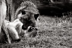 The fight of supremacy (Rupam Das) Tags: nikon nikkor 200500mmf56eedvr alaska anchorage wildlife anger angry bite biting outdoor forest fight teeth groan supremacy overpower kill wolf wolves bw blackandwhite monochrome eyes face ears aggression submission