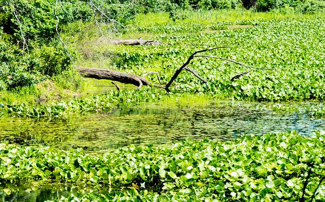 Pisgah Marsh Area - July 5, 2017