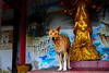 ,, Rocky, Spirit House ,, (Jon in Thailand) Tags: rocky jungle spirithouse dog k9 dogears dogeyes dognose dogpaws red yellow blue gold green redfloortile monkeytemple statue buddhism wallpainting nikon d300 nikkor 175528 thelook littledoglaughedstories