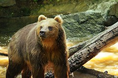 Young grizzly bear (Setsukoh) Tags: grizzli grizzly ours bear grizzlybear ursusarctoshorribilis mammal mammifère beast bête big grand prédateur predator young jeune playing jeu light sun soleil lumière eau water canon7d zoo zoodelaflèche sarthe paysdelaloire france frankreich brown brun america