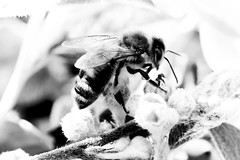 at work (elebelleguy) Tags: macromonday 100f28 100mm 100mmf28macro 550d animaux bw boitier camera canoneos550d ef100mmf28macrolisusm eos eos550d hmm hardware insectes macro matã©rial nb objectif photo blackandwhite f28 lens noiretblanc sã©riel