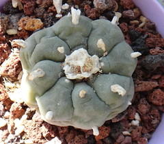 Lophophora williamsii (peyote) (armen.cactus) Tags: cactus succulent lophophora williamsii peyote