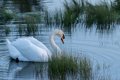 Larry the Mute Swan (Anne McKinnell) Tags: animal bird britishcolumbia campbellriver muteswan swan thunderbirdrvpark wildlife