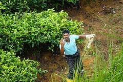 Sri Lanka, tea pickers (4) (walterkolkma) Tags: srilanka tea pickers teapickers centralhighlands nuwaraeliya strathdon teaestates women laborers tamils sonya6300