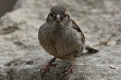 Chaffinch Female (Bri_J) Tags: tropicalbutterflyhouse northanston southyorkshire uk butterflyhouse yorkshire nikon d7200 chaffinch bird wildbird fringillacoelebs