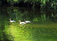 Goosanders(Mergus merganser) (jdathebowler Thanks for 1.19 Million + views.) Tags: goosanders eveningsunshine riveraire riverscene waterscape mergusmerganser speciesmmerganser aves duck familyanatidae nature
