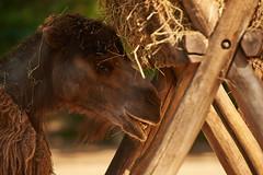 ZOOM Erlebniswelt - Asien (Kanazuchi) Tags: zoo zoologischergarten zoom zoomerlebniswelt zoomerlebnisweltgelsenkirchen tiere animals wildlife trampeltier bactriancamel