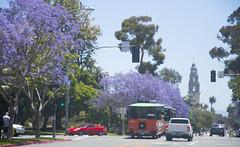 Jacaranda trees line El Prado, San Diego, CA (Tim Brown's Pictures) Tags: jacaranda jacarandatree purlpleblossoms purpleflowers balboapark elprado