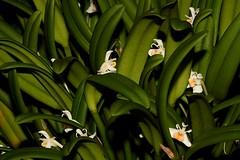 Cadetia taylori (andreas lambrianides) Tags: cadetiataylori orchidaceae bulbophyllumtaylori cadetiahispidum australianflora australiannativeplants australianrainforests australianrainforestplants australiannativeorchids australianrainforestorchids arfflowers whitearfflowers arfp qrfp