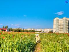 Зверушки 0383 (2016.05.21) (vladsky78) Tags: ильичёвск небо животные зелень цветы поле собака