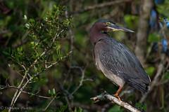 Green Heron (stephaniepluscht) Tags: alabama 2017 bon secour boggy branch creek green heron