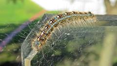 Caterpillar (5of7) Tags: caterpillar larval lepidoptera insect larva closeup macro micro animalia arthropoda insecta amphiesmenoptera larvalstage nice image fav great 10fav 15fav