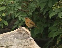 juvenile Robin - Kiveton Community Woodland (westoncfoto) Tags: birds kiveton mining spoil reserve
