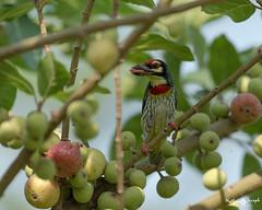 In the midst of plenty! (mathewindelhi) Tags: barbet bird india delhi indianbirds nature nikon breakfast color