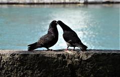 Pigeons 14.07 (7) (tabbynera) Tags: pigeons