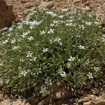 brittle sandwort, Minuartia nuttallii var. fragilis thumbnail