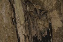 Perfect Camouflage. (Vikas.B.Chavan) Tags: nikond7100 afsnikkor300mmf4difed nikontc17eii indianscopsowl otusbakkamoena kalkerirangeforests dharwad