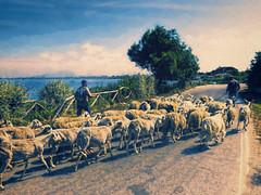 Near Marsala (Artypixall) Tags: sicily marsala goats shepherds lagoon road faa getty
