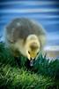 Duckling (MJoshL) Tags: duckling babyduck