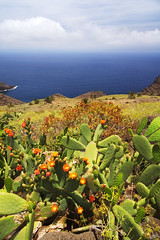 Blooming Cacti (johaennesy) Tags: cactus cacti lagomera canaries islascanarias canarias plants dry ocean opensourcesoftware gimp rawtherapee sonyalpha sony a580