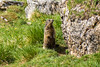 Murmeltier (oonaolivia) Tags: murmeltier marmots wanderung walking hiking nature switzerland schweiz graubünden grisons
