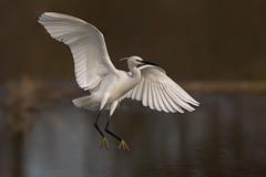 Garzetta (Ricky_71) Tags: egretta garzetta little egret sunset