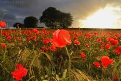 poppy field (Neal J.Wilson) Tags: summer poppy poppies flowers flora wild trees sunsets dusk goldenhour red wheat denmark d3200 danishlandscapes dawn jutland jylland nordic scandinavia cloudburst stormclouds weather