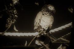 ...on the cord (camerito) Tags: camerito nikon1 j4 flickr cord seil bird vogel parrot papagei bw black white sepia schwarz weis sw