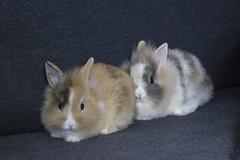 Wasabi and Nori (Martijn A) Tags: rabbits konijnen pets huisdieren canon550ddslreos canon70200mmf4lis wwwgevoeligeplatennl