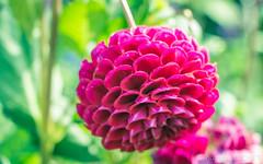Dahlia Monet's garden (toum') Tags: rouge giverny dahlia fleur flower garden flowers lightroom eos 700d claude monet france