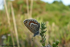 Silver Studded Blue (CJT29(trying to catch up)) Tags: butterfly countryside outdoors cjt29 silverstuddedblue plebejusargus newforest hampshire shatterford