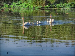 The Swan Family (ilfotografodellapausapranzo1) Tags: natura nature swan cigni reflection riflessi parcodelmincio madonnadellegrazie family lovesnature fantasticnature