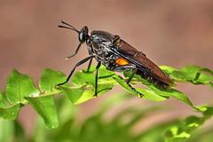 Mydas Fly (Mydas clavatus) (Jim Atkins Sr) Tags: insect mydasfly mydasclavatus bug fly flyinginsect fairfieldharbour northcarolina sony sonya58 sonyphotographing