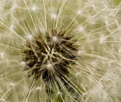 At the heart of the matter..... (tomk630) Tags: virginia nature dandelion macro light sunrise