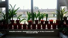 Amaryllis on kitchen  windowsill (From inside) on 1st day of summer 2017  21st June 2017 003 (D@viD_2.011) Tags: amaryllis kitchen windowsill from inside 1st day summer 2017 21st june