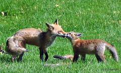 DSC_0771 (rachidH) Tags: fox renard vulpes foxcub renardeau redfox renardroux vulpesvulpes backyard frontyard wildlife sparta newjersey nj rachidh nature