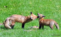 DSC_0775 (rachidH) Tags: fox renard vulpes foxcub renardeau redfox renardroux vulpesvulpes backyard frontyard wildlife sparta newjersey nj rachidh nature