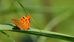 diversamente mimetica... (andrea.zanaboni) Tags: farfallagialla farfalla butterfly giallo yellow estate summer nikon macro colori colors