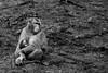 Love of a mother (grundi1) Tags: sony alpha 68 ilca68 a68 kärnten carinthia landskron sigma1770f2845dcmacro black white schwarz weis japanmakaken macaca fuscata japanese macaque snow monkey blackandwhite sigma 1770 f2845 affenberg greifvogelschau monkeymountain tierpark zoo