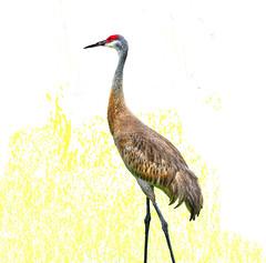 I'll Have Some Cranes with My Coffee (daystar297) Tags: sandhillcrane crane bird nature nikon d90 portrait availablelight photoshop hdr fortpierce florida southflorida treasurecoast feather beautiful elegant