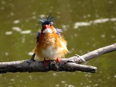 I am really not a Clown! I am a Malachite Kingfisher! (Pixi2011) Tags: birds nature krugernationalpark allnaturesparadise naturethroughthelens