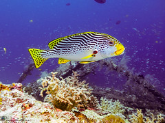 """Sweetlips • <a style=""""font-size:0.8em;"""" href=""""http://www.flickr.com/photos/126602711@N06/35346029516/"""" target=""""_blank"""">View on Flickr</a>"""
