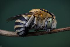 amegilla bee (male in a typical sleeping position) (Dean Lerman) Tags: bee bug insect dean lerman macro nikon tokina raynox viltrox