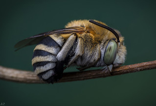 amegilla bee (male in a typical sleeping position)
