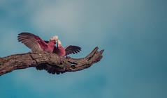 (AWLancaster) Tags: galah galahs birding birds perched sony sigma sonyphotography shepparton wetlands reedyswamp wings beautyinnature