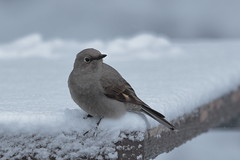 No picnic (Hammerchewer) Tags: townsendssolitaire bird snow wildlife outdoor yellowstone