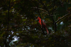 Male Cardinal Raised Crest (brandon_gerringer) Tags: cardinal bird animal canon nature garden red maple tree